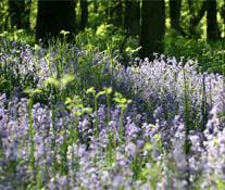 Bluebell Wood near Blairgowrie