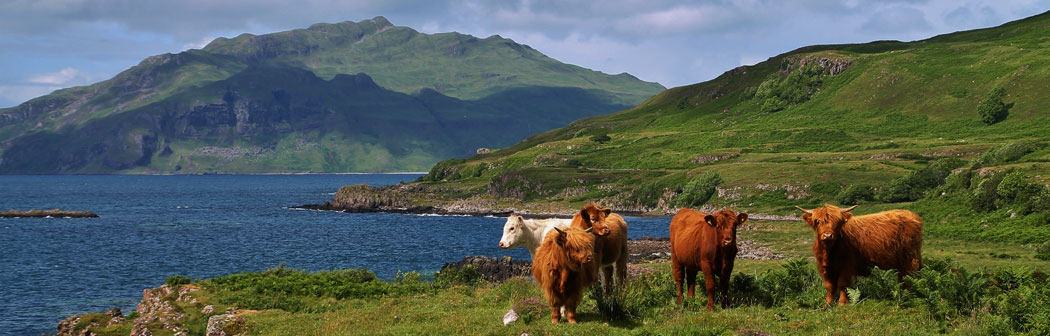 Highland Cows by the Sound of Mull