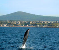 Dolphin in the Moray Firth