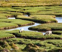 Sheep Pasture on the Isle of Harris
